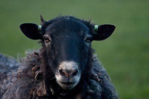 Schwarzes Schaf